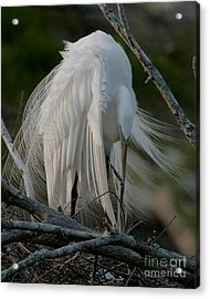 Acrylic Print featuring the photograph Egret - Mother And Eggs  by Luana K Perez