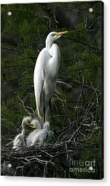Acrylic Print featuring the photograph Egret - Proud Mother by Luana K Perez