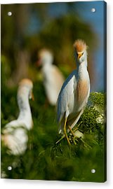 Egret And Company Acrylic Print by Andres Leon