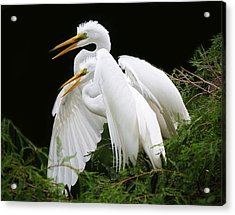 Egret Babies In The Nest Acrylic Print by Paulette Thomas