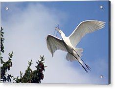 Egret Carrying Stick Acrylic Print