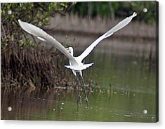 Egret In Flight Acrylic Print