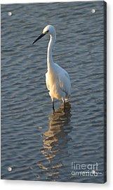 Egret In Marsh Acrylic Print by Gordon Mooneyhan