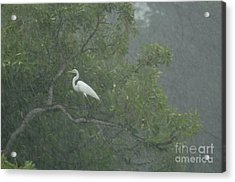 Egret In The Monsoons Acrylic Print by Bob Christopher