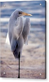 Acrylic Print featuring the photograph Egret Key West by Denise Moore