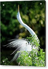 Egret  Acrylic Print by Nancy Greenland