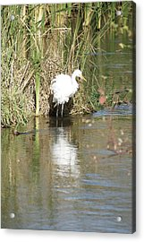 Acrylic Print featuring the photograph Egret by Steven Clipperton