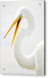 Egret Up Close Acrylic Print by Paulette Thomas