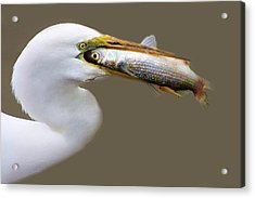Egret With A Huge Fish Acrylic Print by Paulette Thomas