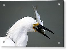 Egret With His Catch Of The Day Acrylic Print by Paulette Thomas