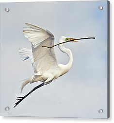 Egret With Nesting Material Acrylic Print by Howard Knauer