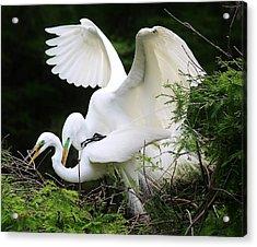 Egrets Mating Acrylic Print by Paulette Thomas