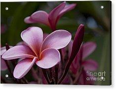 Eia Ku'u Lei Aloha Kula - Pua Melia - Pink Tropical Plumeria Maui Hawaii Acrylic Print by Sharon Mau