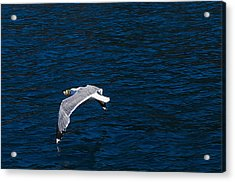 Acrylic Print featuring the photograph Elba Island - Flying For Food - Ph Enrico Pelos by Enrico Pelos