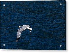Elba Island - Flying For Food - Ph Enrico Pelos Acrylic Print