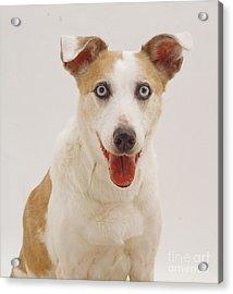 Elderly Collie Lurcher Dog Acrylic Print by Jane Burton