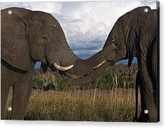 Elephant Caress Botswana Acrylic Print