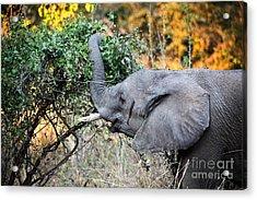 Elephant Detail Acrylic Print