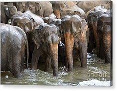 Elephant Herd In River Acrylic Print by Jane Rix