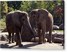 Elephants At The Pittsburgh Zoo Acrylic Print by Stacy Gold