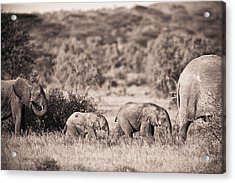 Elephants Walking In A Row Samburu Kenya Acrylic Print by David DuChemin