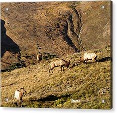 Elk Battle 2012 Acrylic Print