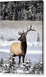 Elk Cervus Canadensis Bull Elk During Acrylic Print by Richard Wear