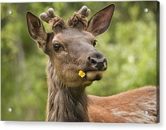 Elk Cervus Canadensis With Dandelion In Acrylic Print by Philippe Widling