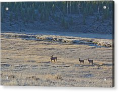 Elk In The Morning Acrylic Print by Twenty Two North Photography