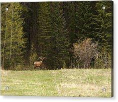 Elk Acrylic Print by Larry Roberson