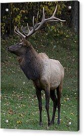 Elk Pride Acrylic Print