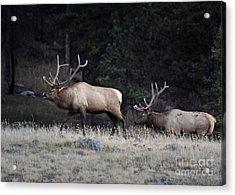 Acrylic Print featuring the photograph Elk Rut Intimadation by Nava Thompson