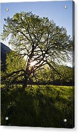 Elm In Cook's Meadow Acrylic Print by Rick Berk