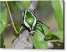 Emerald Fruit Chafer Beetle Acrylic Print by Gerry Ellis