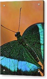 Emerald Swallowtail Acrylic Print