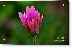 Emergence Acrylic Print by Julie Clements