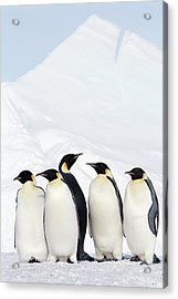 Emperor Penguins And Icebergs, Weddell Sea Acrylic Print by Joseph Van Os