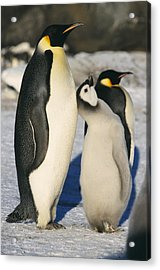 Emperor Penguins With Chick Acrylic Print by Doug Allan