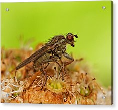 Empid Fly Acrylic Print by Paul Scoullar