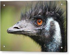 Emu Acrylic Print by Karol Livote
