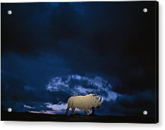 Endangered Northern White Rhinoceros Acrylic Print by Michael Nichols