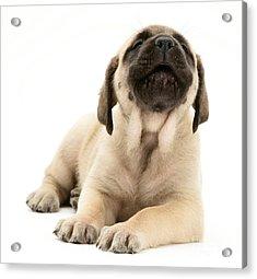 English Mastiff Puppy Acrylic Print by Jane Burton