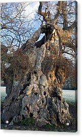 English Oak Tree (quercus Rober) At Dawn Acrylic Print by Bob Gibbons