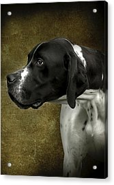 English Pointer Dog Portrait Acrylic Print