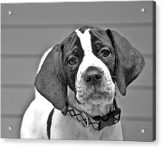 English Pointer Puppy Black And White Acrylic Print