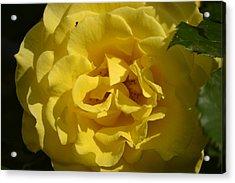English Rose - Yellow Acrylic Print by Dickon Thompson