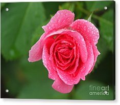 English Rose Acrylic Print by Bonnie Sue Rauch and Photo Researchers