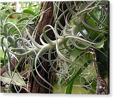 Epiphytic Bromeliad Acrylic Print