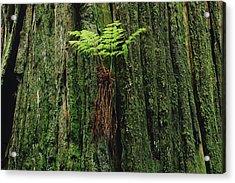 Epiphytic Fern Growing On Redwood Acrylic Print by Gerry Ellis
