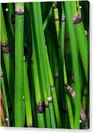 Acrylic Print featuring the photograph Equisetum by Judi Bagwell